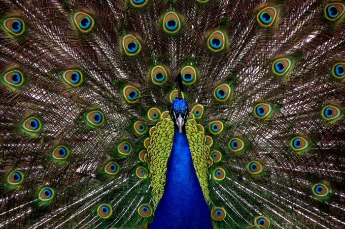 Will Peacock Be Free? Yes And No